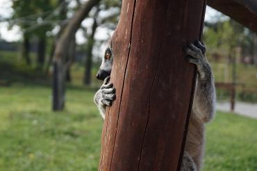 lemur 10