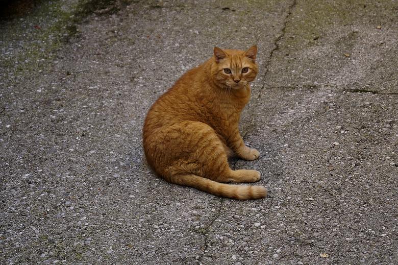 Slovenian cat