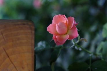 Gül Baba rózsakertje 49
